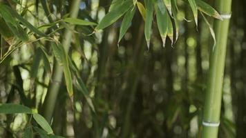 bambous dans la nature video