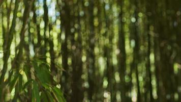 árvores de bambu na natureza video