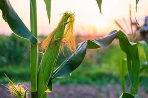 Fresh corn pods from corn plants photo