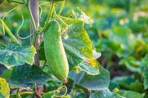 Verduras frescas de pepino de la granja de pepinos. foto