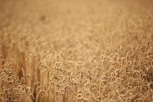 Fondo de maduración de espigas de campo de trigo y luz solar. foto