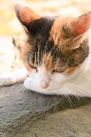 Calico cat at the park in autumn photo