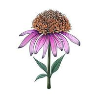 Hand drawn Coneflower flowers and leaves drawing illustration isolated on white background vector