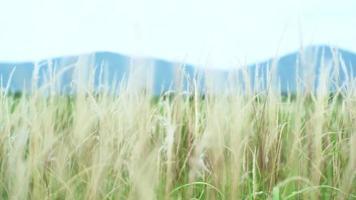 Grasblumen, die im Wind mit unscharfem Berg und Landschaft im Hintergrund wehen video