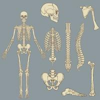 Human skeleton structure vector drawing