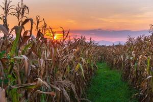 The sunset on the corn field photo