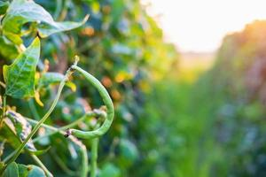 Fresh long beans in a vegetable farm ready to harvest photo