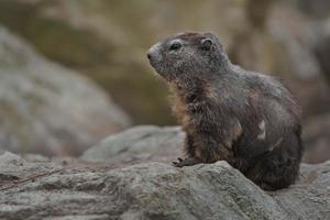 Alpine marmot on rocks photo