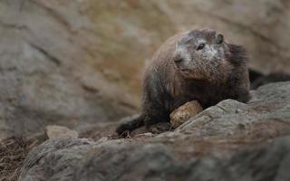 marmota alpina en rocas foto