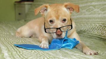 Perro labrador con corbata acostado en la cama video