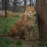 Cape lion in zoo photo