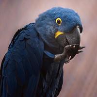 Hyacinth macaw in zoo photo