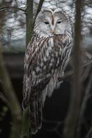 Ural owl in zoo photo