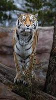 Siberian tiger on log photo
