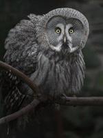 gran búho gris foto