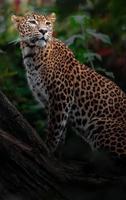 leopardo de Sri Lanka foto