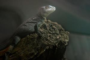 Portrait of Green basilisk photo