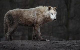 Arctic wolf on hill photo