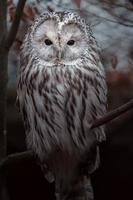 Ural owl on branch photo