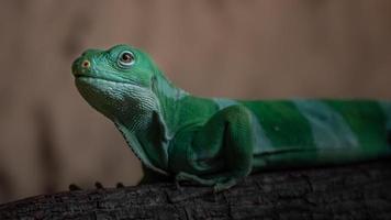 Fiji banded iguana photo