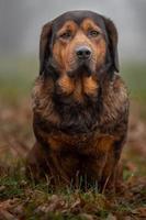Portrait of Alpine Dachsbracke photo