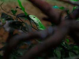 Green keel bellied lizard photo
