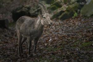 Portrait of Siberian ibex photo