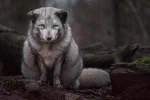 Portrait of Arctic fox photo