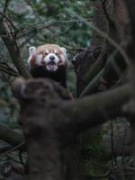 Red panda on branch photo