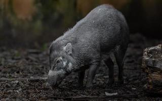cerdo verrugoso de Visayan foto