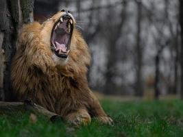 Katanga Lion yawning photo