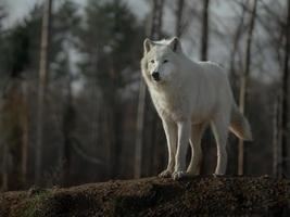 Portrait of Arctic wolf photo