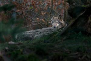 Eurasian wolf hiding behind rock photo