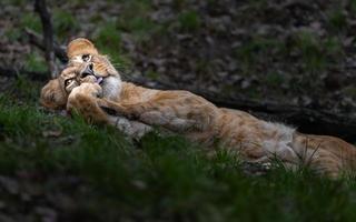 Katanga Lion in grass photo