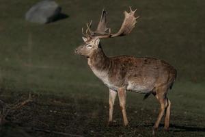 Portrait of Fallow deer photo