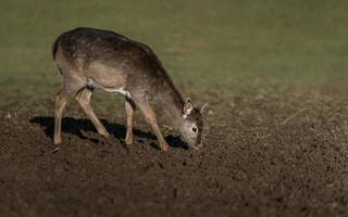 Portrait of Red deer photo