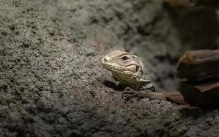 Cuban rock iguana photo