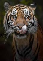 retrato de tigre de sumatra foto