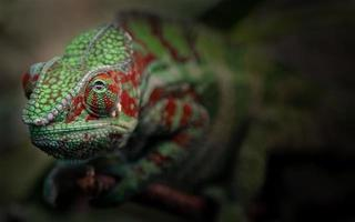 Portrait of Panther chameleon photo