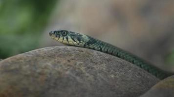 Grass snake on rock photo