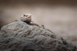 Paralaudakia lehmanni sobre roca foto