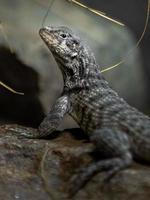 Northern curly tailed lizard photo