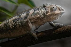 Panther chameleon on branch photo
