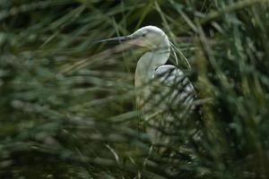 Portrait of Little egret photo