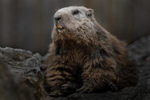 retrato de marmota alpina foto