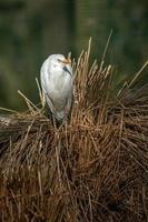 Portrait of Cattle egret photo