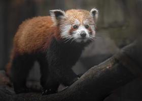 retrato de panda rojo foto
