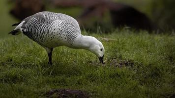 Portrait of Upland goose photo
