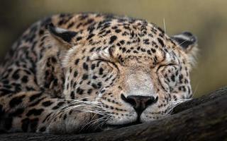 Persian leopard sleeping photo