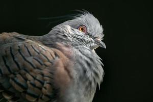 retrato de paloma crestada foto